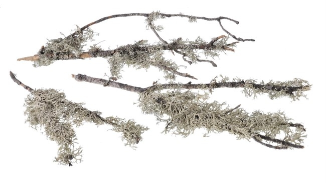 Oak moss with branch