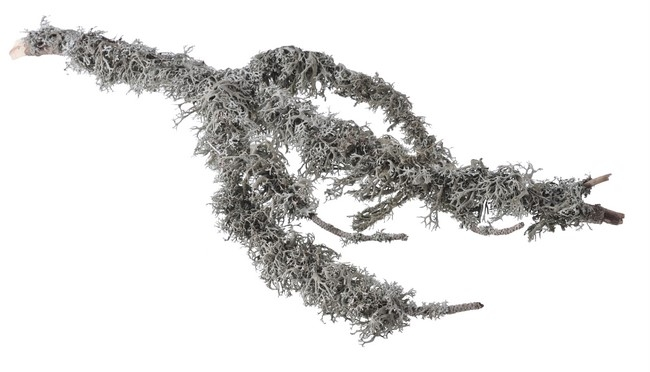 Grey moss with branch
