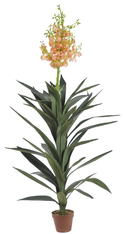 Holland yucca w doniczce