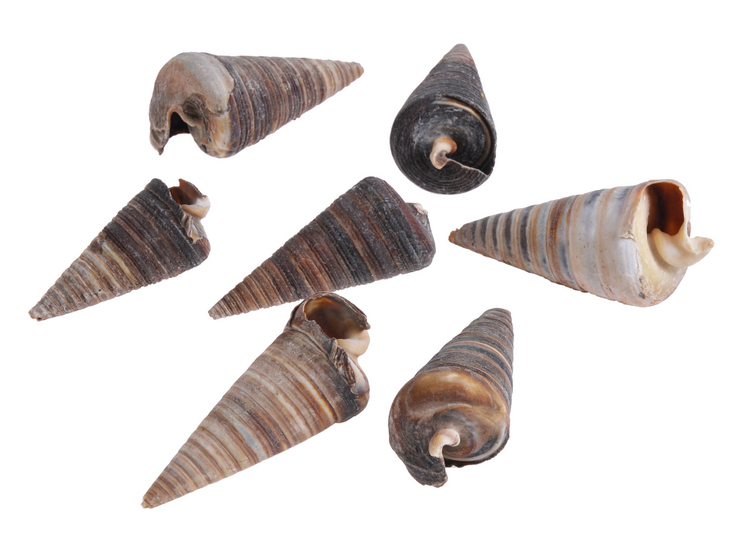 Cone Shell -muszle
